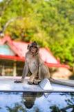 Игра обезьян и смотреть вокруг Стоковое Изображение RF