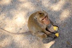 Игра обезьян и смотреть вокруг Стоковое Фото