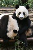 игра панды Стоковая Фотография