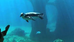 Игра пингвина с посетителем в зоопарке Пингвин плавает под водой в зоопарке видеоматериал