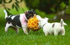 2 игра приниманнсяая за собаками Стоковое Изображение