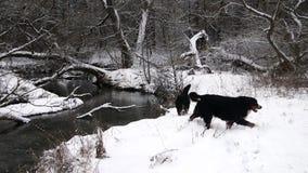 Игра собаки горы Bernese около реки в лесе сток-видео