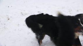 Игра собаки горы Bernese около реки в лесе видеоматериал