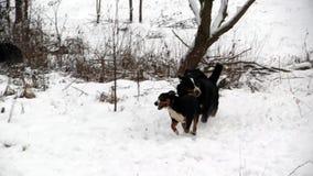 Игра собаки горы Bernese около реки в лесе акции видеоматериалы