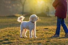 Игра собаки пуделя с мальчиком стоковая фотография