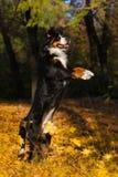 Игра собаки Bernese Стоковые Изображения