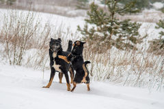 Игра собак в зиме Стоковые Фотографии RF