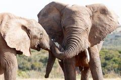 Игра хобота - слон Буша африканца Стоковая Фотография