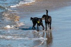 Игра 2 черная Retrievers Лабрадора на пляже Стоковые Изображения RF