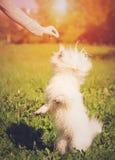 Игра Bichon bolognese в парке Стоковые Фотографии RF