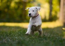 Игра Dogo Argentino щенка в траве Вид спереди Стоковые Изображения