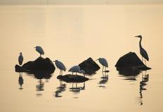 Игра Egrets в заходе солнца Стоковые Изображения RF