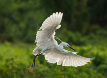 Игра Egrets в заходе солнца Стоковое фото RF