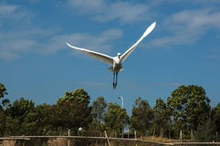 Игра Egrets в заходе солнца Стоковое Фото