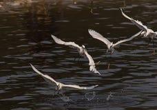Игра Egrets Стоковые Фотографии RF
