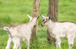 Игра Goatlings Стоковые Изображения