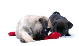 Игра Mopsa 2 маленькая щенят с связанным красным цветком стоковое фото