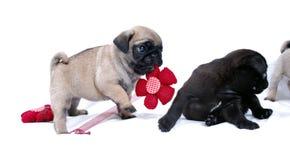Игра Mopsa щенят с связанным красным цветком стоковые изображения
