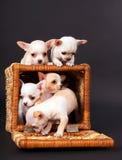 Игра puppys чихуахуа к тележке стоковые изображения