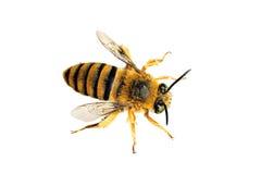 игрушечный пчелы медведя Стоковые Фотографии RF