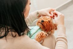 Игрушка владельца руки терьера рождества Нового Года любимца собаки doggy фотосессии красная стоковые фотографии rf