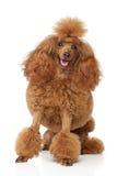 игрушка красного цвета щенка пуделя Стоковая Фотография RF