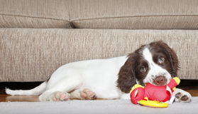 Игрушка собаки щенка сдерживая Стоковое Изображение