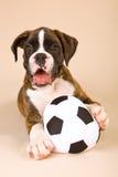 игрушка футбола щенка боксера шарика стоковое фото