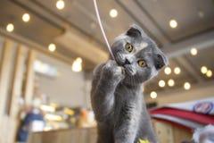 Игрушка шаловливого шотландского котенка сдерживая Стоковые Фото