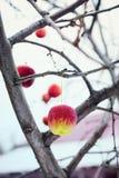 Игрушки в форме яблок на ветви Стоковая Фотография