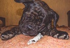 Игры большой и черной собаки с ручкой дома Порода Kan Corso, французского бульдога прозвищем Lesya симпатичный любимчик стоковое фото rf