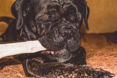 Игры большой и черной собаки с ручкой дома Порода Kan Corso, французского бульдога прозвищем Lesya симпатичный любимчик стоковое изображение rf