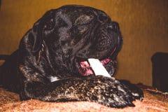 Игры большой и черной собаки с ручкой дома Порода Kan Corso, французского бульдога прозвищем Lesya симпатичный любимчик стоковая фотография rf