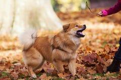 Игры девушки с собакой Стоковое фото RF