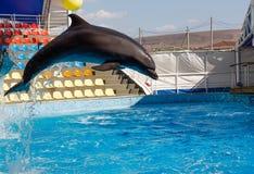 Игры дельфина в бассейне Стоковое Фото