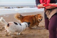 Игры женщины с собаками на пляже Стоковые Изображения
