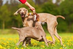 Игры женщины с собаками Weimaraner outdoors Стоковые Фотографии RF