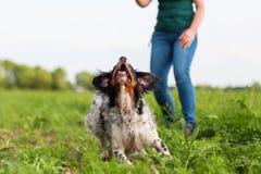 Игры женщины с собакой Бретани Стоковые Изображения