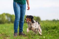 Игры женщины с собакой Бретани Стоковая Фотография RF
