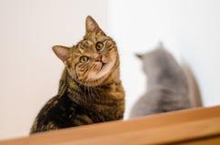 Игры кота Tabby в доме Стоковая Фотография RF