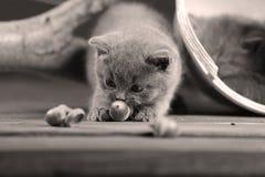 Игры котенка британцев Shorthair с жолудем Стоковая Фотография RF