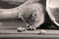 Игры котенка британцев Shorthair с жолудем Стоковые Фото