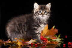 Игры котенка с вареньем Стоковые Изображения