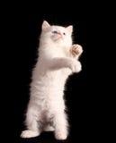 игры котенка Стоковая Фотография