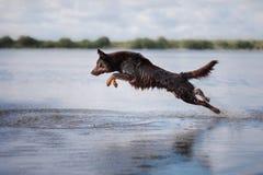 Игры кэльпи собаки стоковое изображение