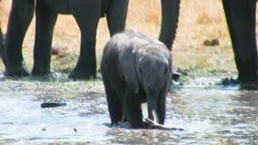 Игры младенца африканского слона в воде сток-видео