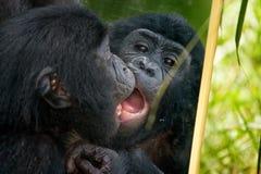 Игры младенца карликовых шимпанзе с зеркалом демократическая республика Конго Национальный парк КАРЛИКОВОГО ШИМПАНЗЕ Lola Ya Стоковое Фото