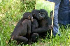 Игры младенца карликовых шимпанзе с зеркалом демократическая республика Конго Национальный парк КАРЛИКОВОГО ШИМПАНЗЕ Lola Ya Стоковые Фотографии RF