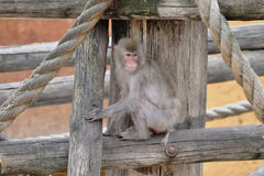 Игры обезьяны детенышей с пэрами Стоковое фото RF