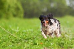 Игры собаки Бретани с инструментом flirt стоковое изображение rf